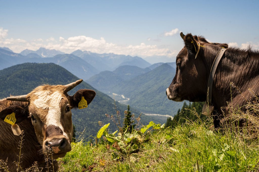 Kühe am Schönberg